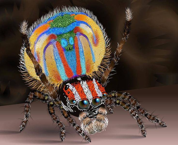 peacock spider
