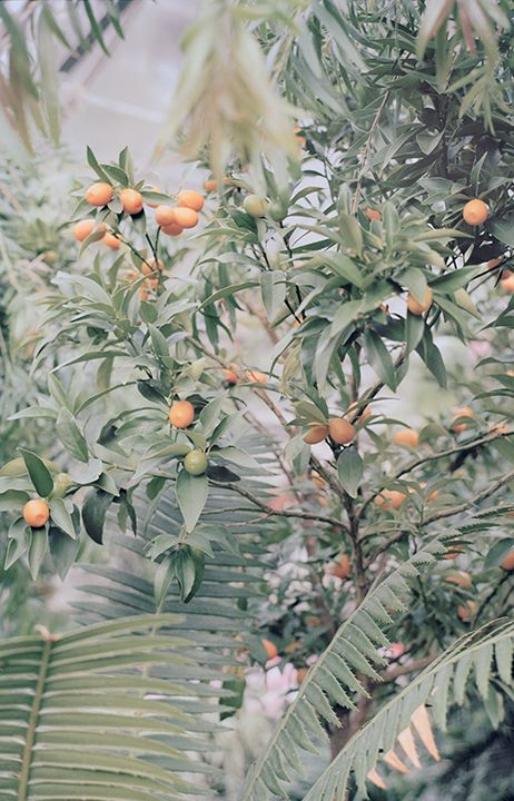 tree, kumquat, plants, nature, mood