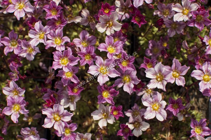 Saxifraga x arendsii 'Alpino Early Pink ' - lomikámen