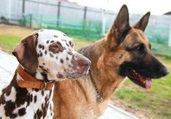 Dalmatische honden - Karaktereigenschappen -- waarom kiezen voor dalmatiër