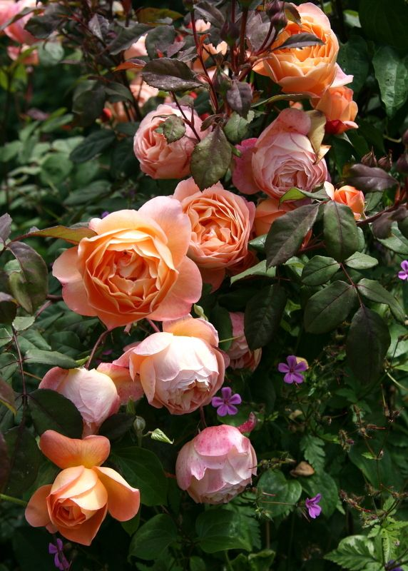 'Lady Emma Hamilton'| David Austin English Rose. Austin, 2005. | © Calif_Sue