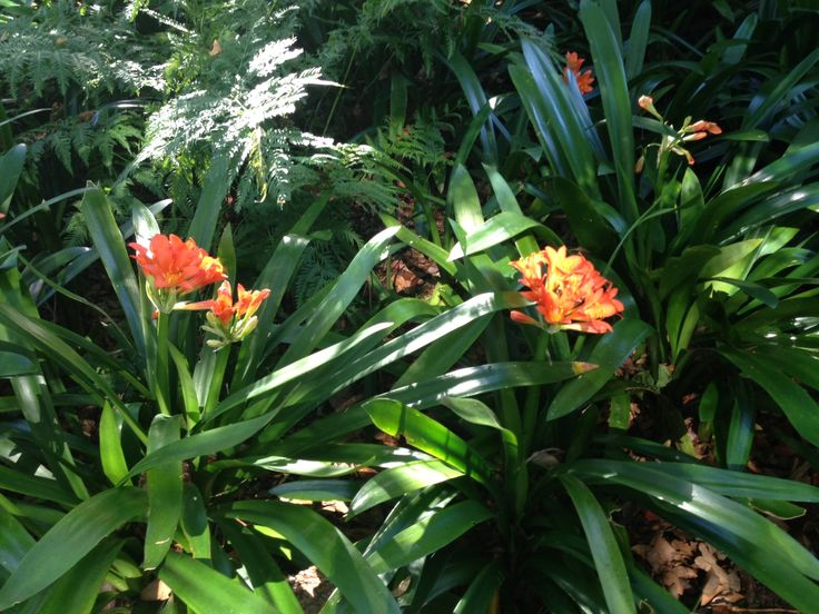 Spring is in the air in Cape Town and the clivias in our garden are starting to bloom!