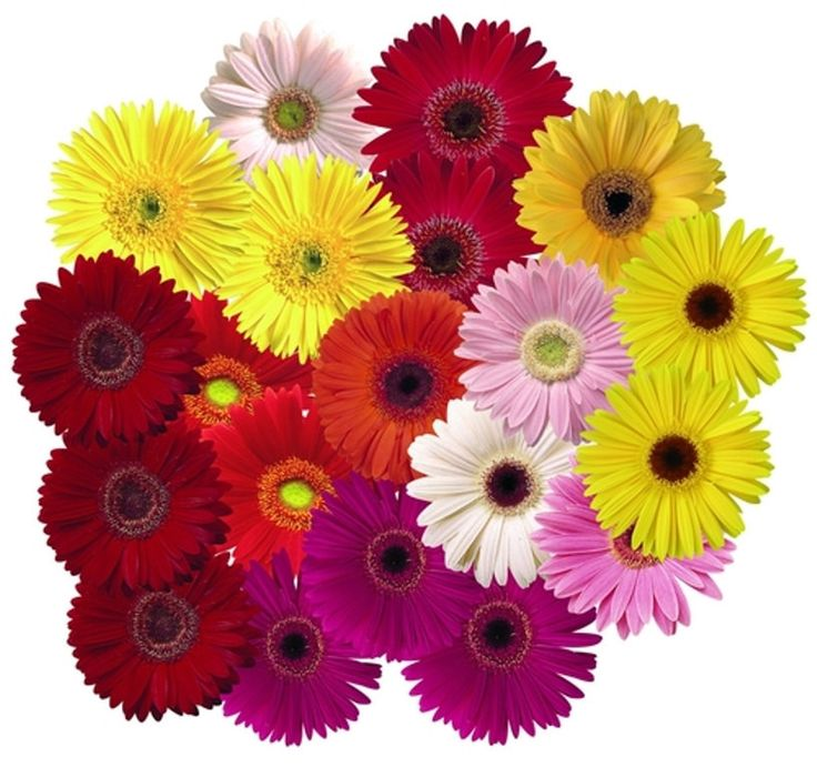 Gerbera Daisy (Gerbera Jamesonii Mix) all colors of the rainbow,Perfect for garden or container, they are always floriferous and reliable!