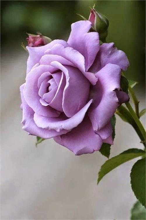 Rose Blue Moon - Beautiful and fragrant hybrid tea rose .... — с Dinalva Ferreira.