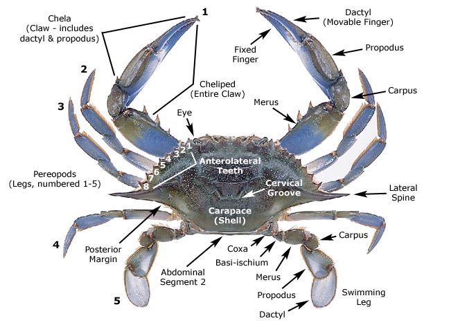 Blue crab anatomy. Swimming Creatures Apologia Lesson 8. Use this diagram on page 116 in notebook journal.