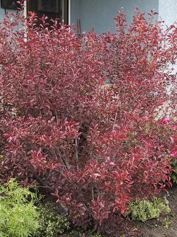 Beautiful Low Growing Shrubs Calgary Trees And Shrubs