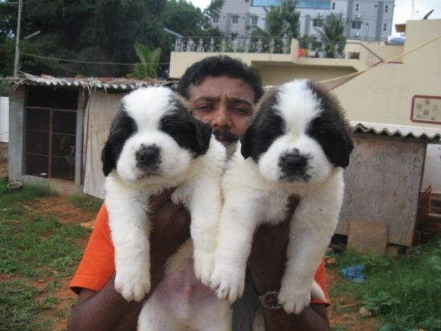 107 best ideas about chiens♥St-Bernard♥Rottweiler♥Bouvier