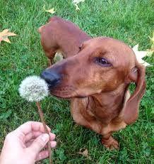 Resultado de imagen para dachshund viernes                                                                                                                                                                                 More
