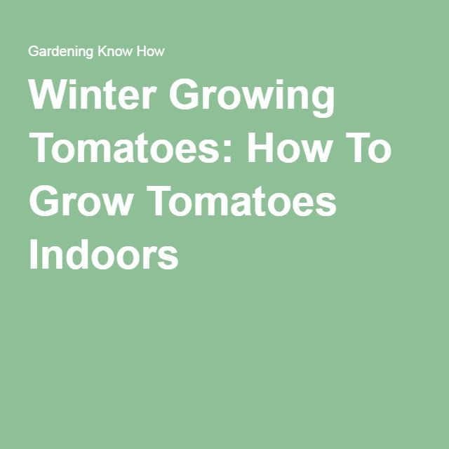 Winter Growing Tomatoes: How To Grow Tomatoes Indoors