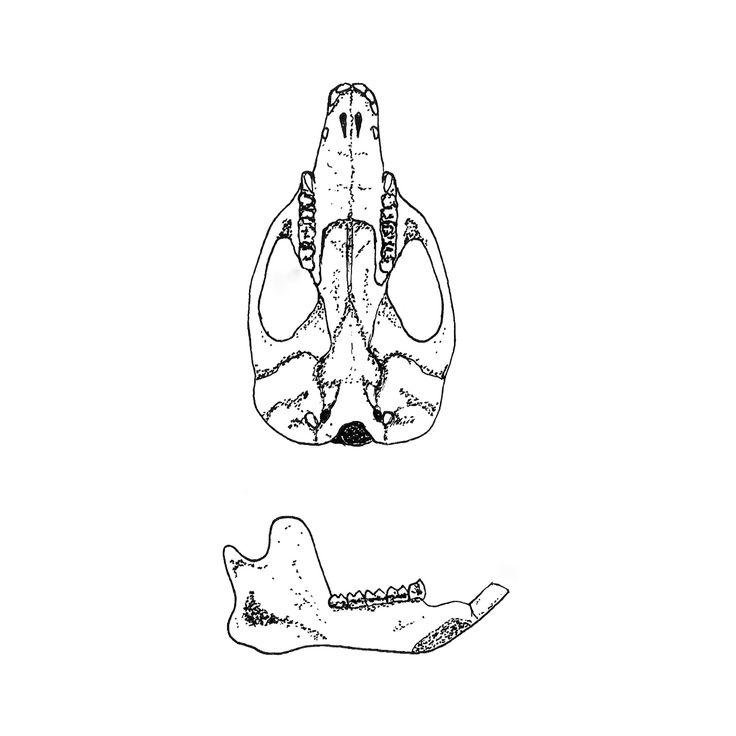 Backyard Survey: Bones (Brushtail Possum skull & jaw) — Luke Foster — The Territories