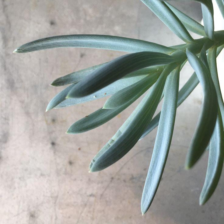 Succulent - Senecio 'Blue Fingers'