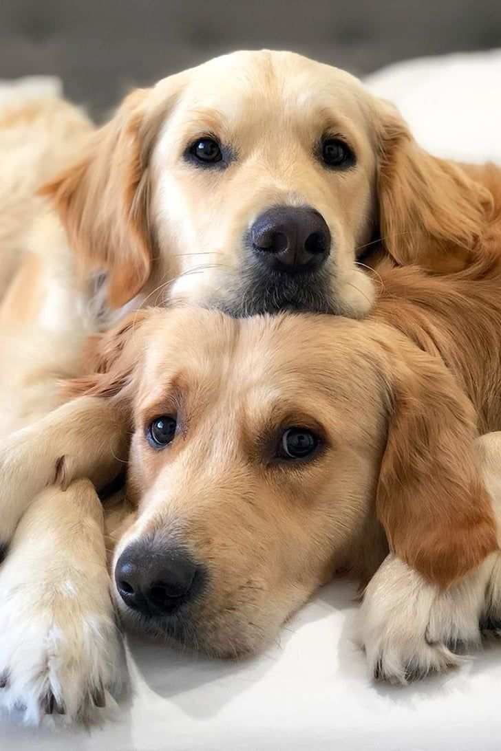 These 2 Golden Retrievers May Be Named After Star Wars Villains But They Cuddle Like Go In 2020 Golden Retriever Baby Dogs Golden Retriever Golden Retriever Wallpaper