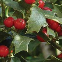 Dwarf Buford Holly is fantastic as a shrub or border hedge.