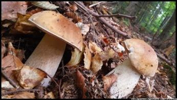 #borowik - grzyby z beskidzkich lasów #borowiki_szlachetne #prawdziwki #mushrooms #Boletus