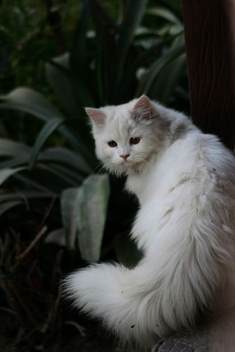 Terrific -> Beautiful Cats For Sale In Lahore #great