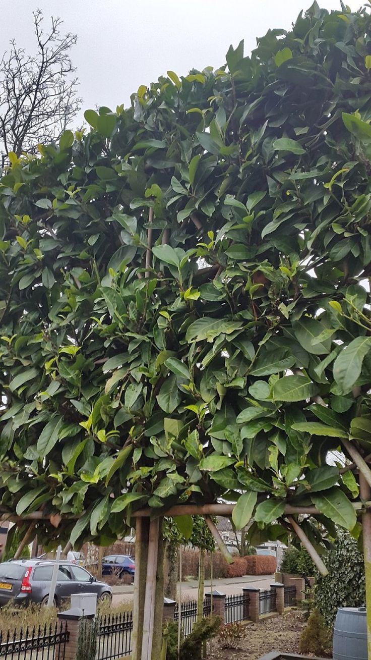 Leilaurier groenblijvende leiboom