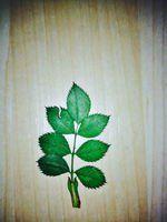 pressed rosehips leaf