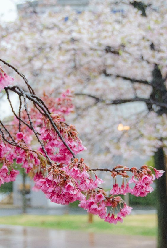 A rainy spring morning in Atami, Japan. Atami is a hot spring resort town about an hour south of Tokyo via the shinkansen high speed rail. See photos of cherry blossoms in Japan and around the world.
