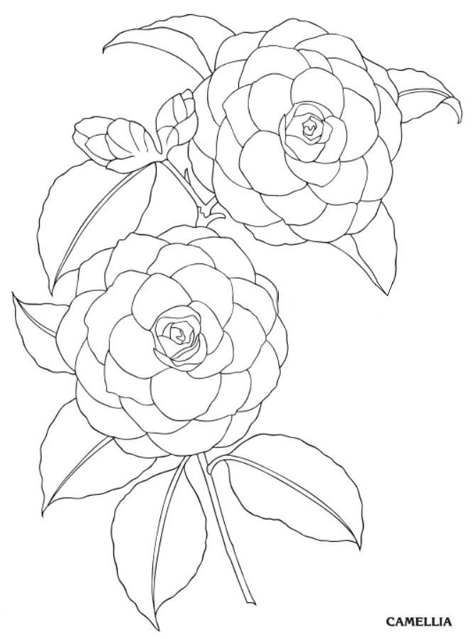 Camellia Creative Haven Garden Flowers Draw And Color Dover Publications Diy Flowers Flower Drawing Flower Painting Floral Illustrations