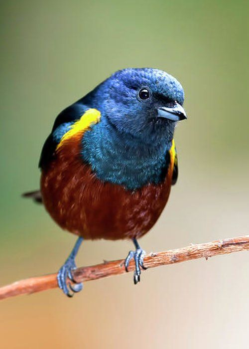 Chestnut Bellied Euphonia