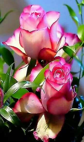 Lovely roses with bright pink tips.