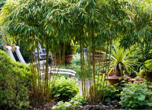 52 Best Bamboo Plants Images On Pinterest Bamboo Plants - bamboo plants garden design