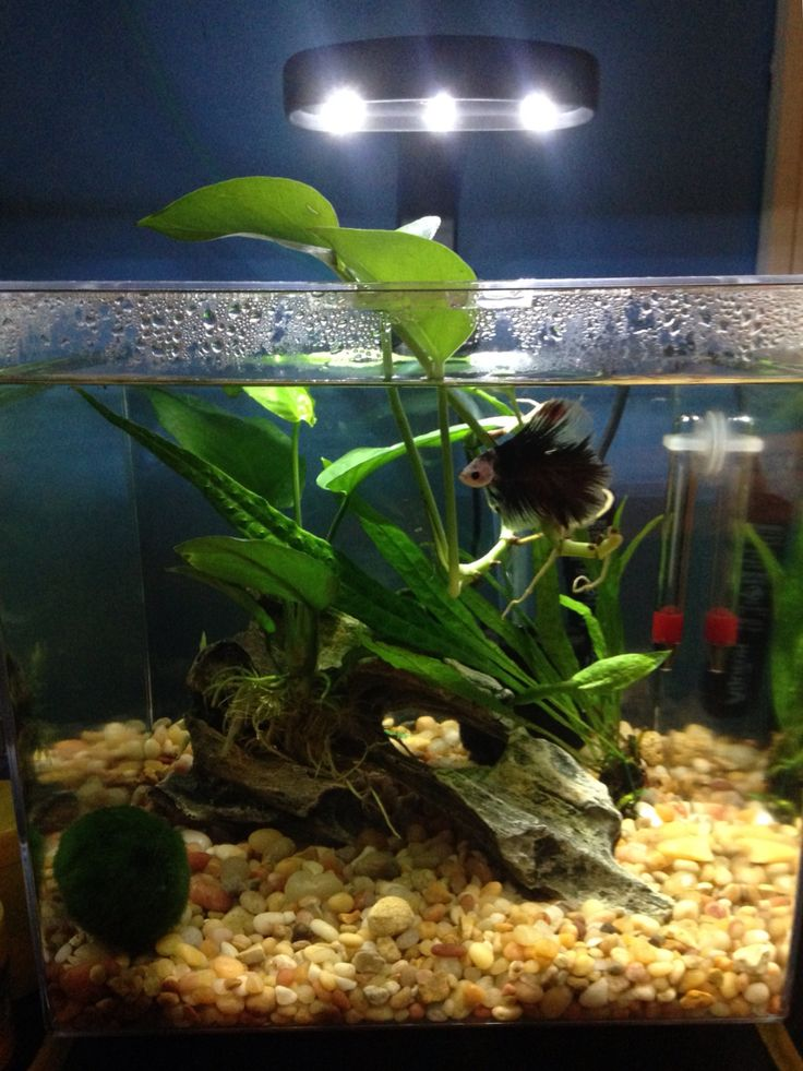 36 best tank life images on pinterest fish tanks fish for Best place to buy betta fish
