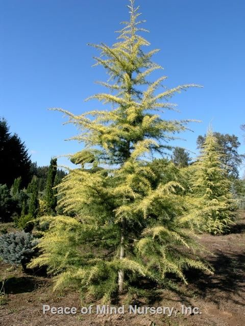 Cedrus Deodara Aurea Pendula Whole Nursery Supplies Plant Growers In Oregon