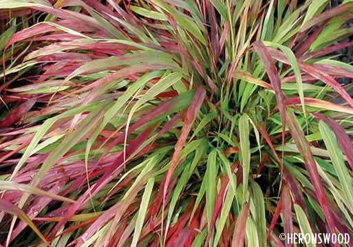 Ornamental Grasses Victoria Bc : Best images about japanese garden on