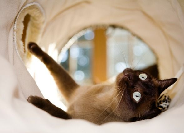 Tonkinese Bacon Tonkinese Cat Pretty Cats Gorgeous Cats