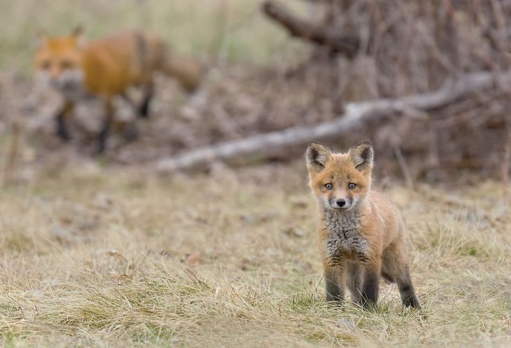 A photo of a fox kit and the mother taken during one of our outings in Ontario.