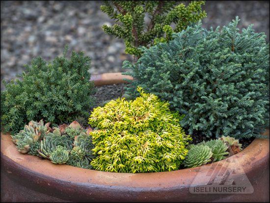 mighty mini conifers