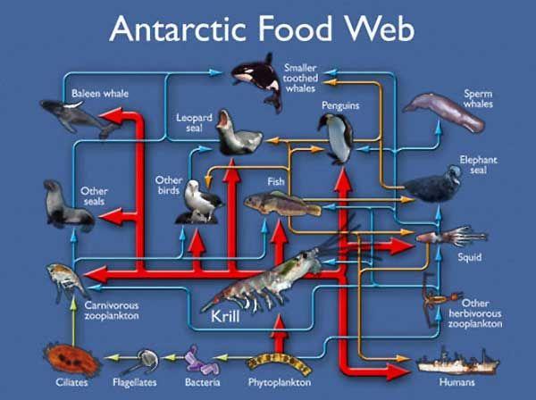Food chains chains sea antarct food food webs