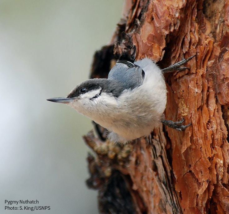Pygmy Nuthatches are acrobatic little birds of western pine forests. You're likely to find them in small, talkative flocks. https://www.facebook.com/NationalAudubonSociety/photos/a.212081654006.129095.18709174006/10155525542619007/?type=3&theater