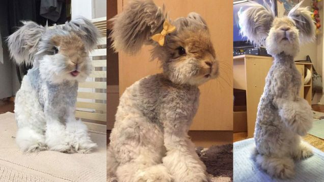 This is Wally . He's a English Angora rabbit .  What a cutie .