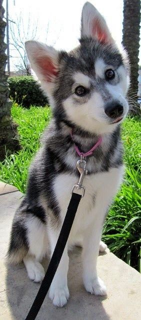Alaskan Klee Kai. Like a Husky, but smaller.                              …