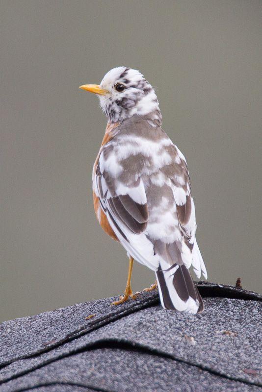 Más tamaños | American Robin (leucistic)_MG_6837.jpg | Flickr: ¡Intercambio de fotos!