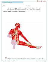 Anterior Muscles of the Human Body (Blank Printable to Label) https://www.teachervision.com/page/74939.html #anatomy #printables