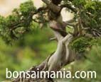 Bonsaimania, tu web de bonsai