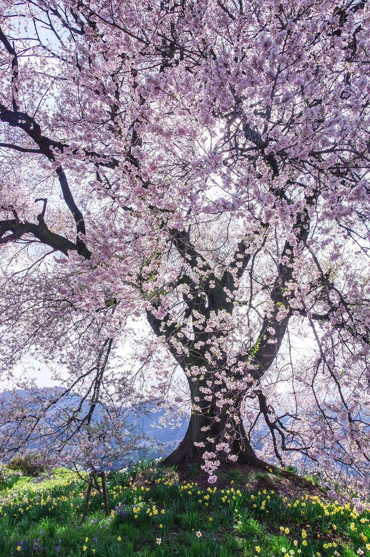 Spring Beauty of the Cherry Tree -- by Tadashi Sato
