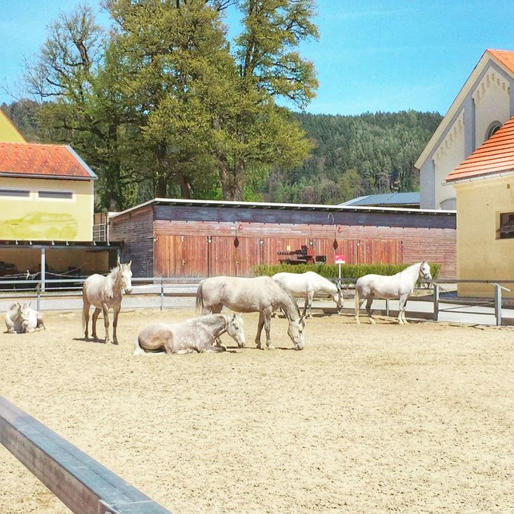 Such beautiful #horses they are  the #royal #lipizzaner just a few minutes outside #Graz  #visitgraz #instagrazer #piber