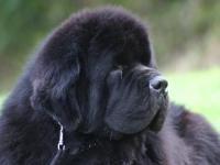 Cucciolata%20.E,,:Little Bears - Cane di terranova - allevamento di Cani di Terranova