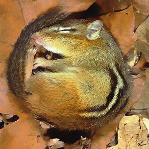 hibernation ecureuil