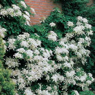 107 best possible plants white images on pinterest white flowers climbing hydrangea petiolaris has white flowers in midsummer green foliage and exfoliating bark climbing hydrangea climbs walls arbors mightylinksfo Gallery