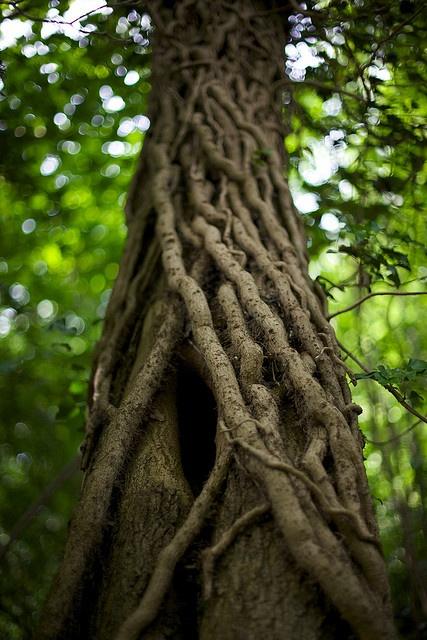 vines on a tree, Earlham Park