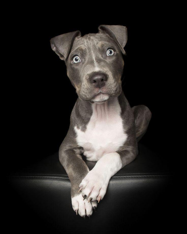Der Elfjahrige American Staffordshire Terrier Welpe Harley Hatte
