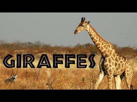Giraffes for Kids: Learn about Giraffes - FreeSchool - YouTube