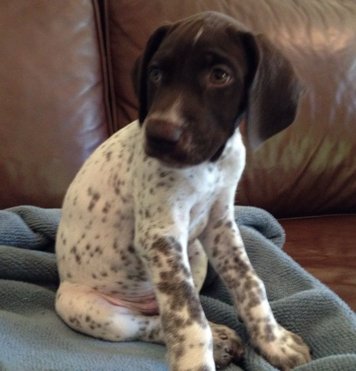 Such a sweet little face!  GSP Puppy!