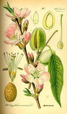 """""""Der #Mandelbaum (Prunus dulcis) ist eine Pflanzenart aus der Gattung Prunus in der Familie der Rosengewächse (Rosaceae). Seine Steinfrucht, das essbare Nährfleisch des Pflanzenkeimlings (Endosperm), die Mandel, wird vom Menschen in vielfältiger Weise, vor allem als Nahrungsmittel und als Kosmetikum, genutzt."""" #扁桃 #巴旦木"""