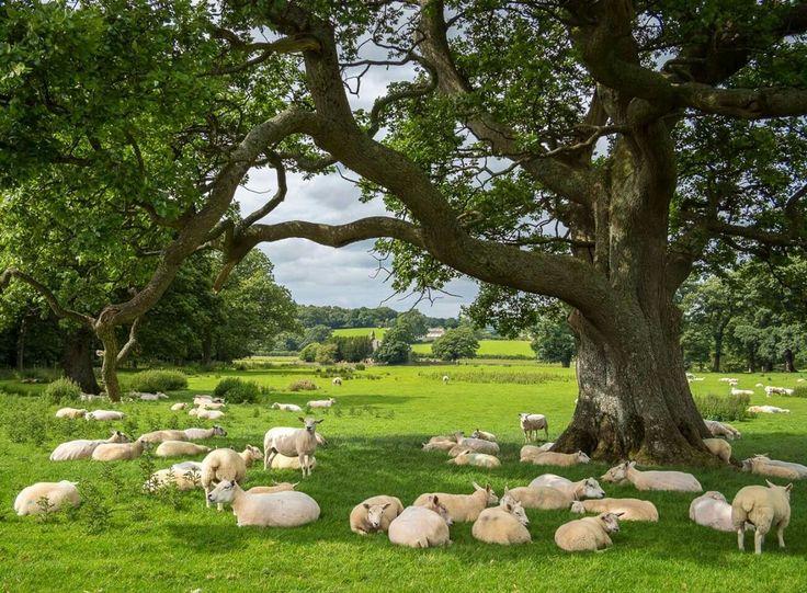 It's a sheep's life at Bassenthwaite Lake, Lake District. Bob Radlinski, flickr.